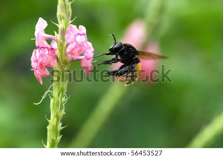 Bumble bee hovering close to a flower - stock photo