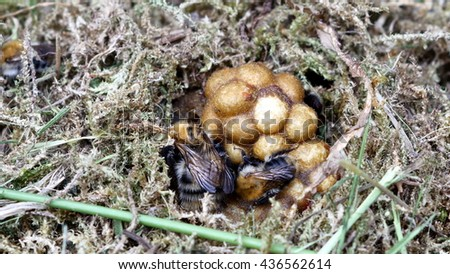 bumble bee in nest on moss background - stock photo