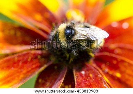 Bumble bee on a Black-eyed susans