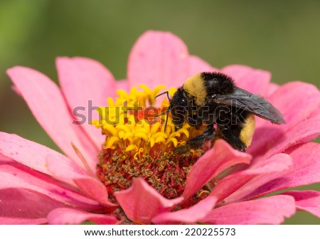 Bumble bee on a pink Zinnia