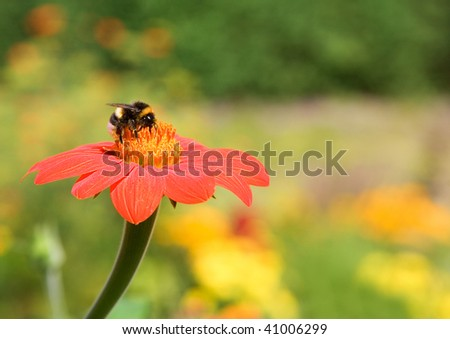 Bumble-bee on a red flower - stock photo