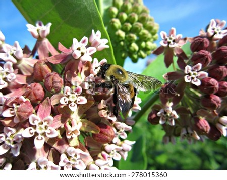 Bumble Bee on Common Milkweed (Asclepias syriaca) - stock photo