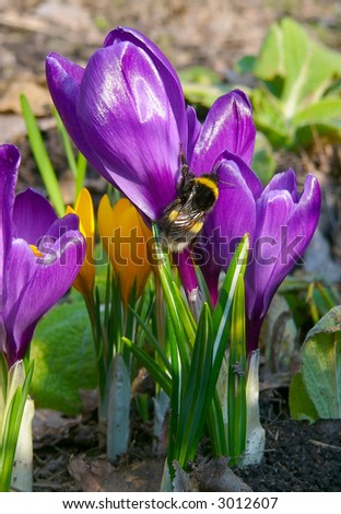 Bumble-bee on crocus flower - stock photo