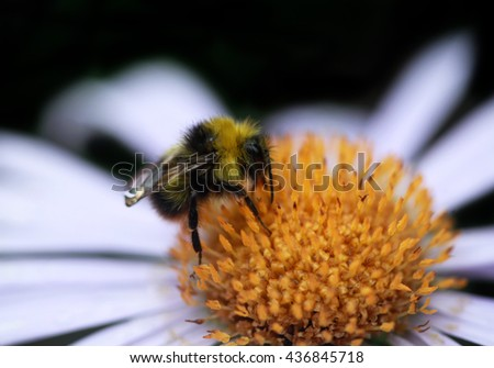 bumble bee on flower - stock photo