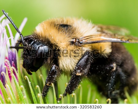 Bumble bee on flower extracting pollen - stock photo