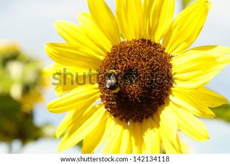 Bumble bee on sunflower - stock photo