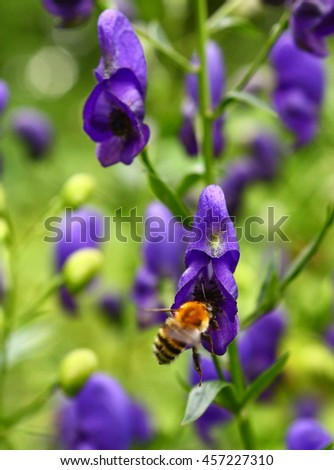 bumble bee on the blue flower background close up summer photo
