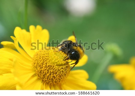 Bumble Bee on yellow flower - stock photo
