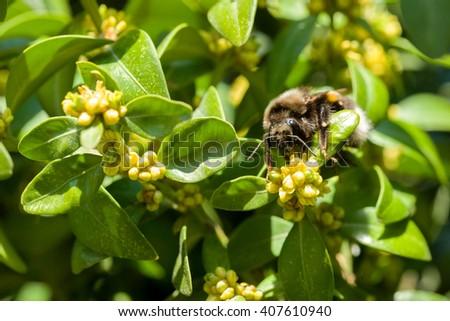 bumble-bee on yellow flowers closeup in spring garden, macro close up shoot - stock photo
