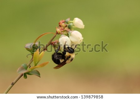 Bumble bee pollinating blossoming blueberry plant - stock photo