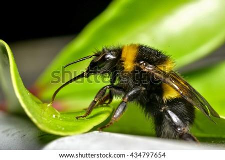 Bumble Bee sucking water - stock photo