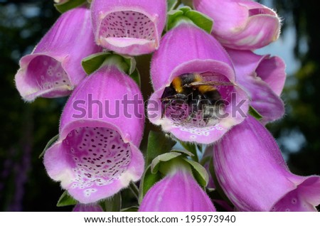 bumble bee turns inside foxglove flower - stock photo