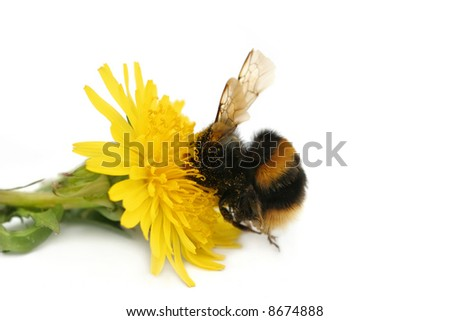 Bumble bee with its head buried in a dandelion flower, covered in pollen, against a white background. - stock photo