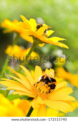 Bumble bees on false sunflowers or Heliopsis helianthoides in the garden in summer - vertical - stock photo