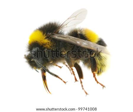 bumblebee - stock photo