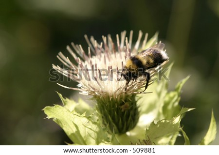 Bumblebee a pollinating flower - stock photo