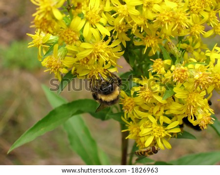 Bumblebee and yellow  flower.