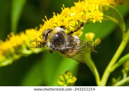 Bumblebee (Bombus pascuorum) on a yellow flower - stock photo