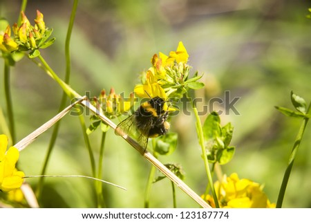 Bumblebee/ bumble bee collecting pollen from clover blooms - stock photo