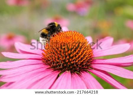 Bumblebee collecting nectar from echinacea purpurea or eastern purple coneflower or purple coneflower - stock photo