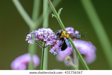 Bumblebee collecting pollen from a flower in japan