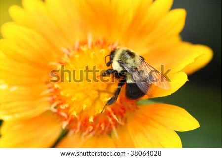 Bumblebee collecting pollen on yellow flower