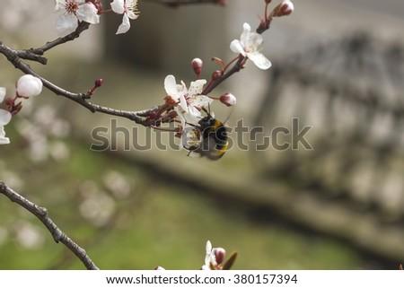 bumblebee feeding on new cherry blossom flowers - stock photo