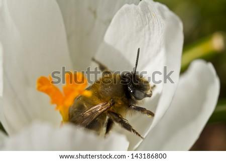 Bumblebee in Crocus Flower - stock photo