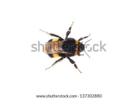 bumblebee isolated on the white background - stock photo