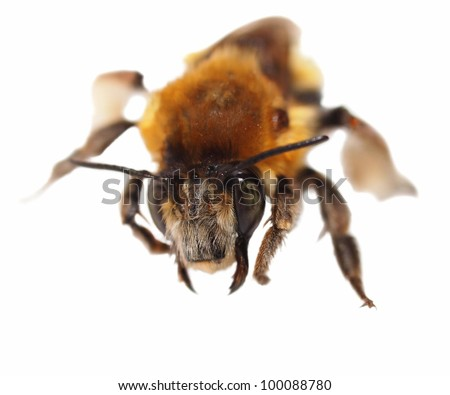 Bumblebee isolated on white background - stock photo
