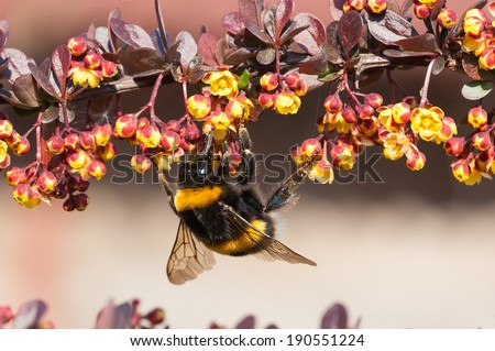 Bumblebee  on a berberis plant - stock photo
