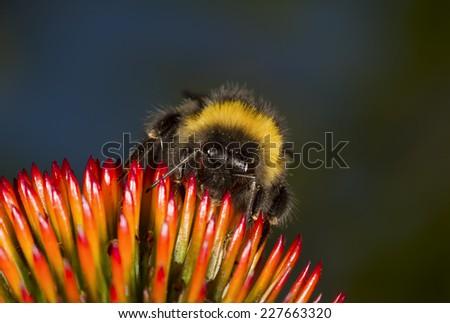 Bumblebee on a Coneflower - stock photo