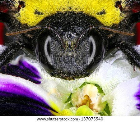 Bumblebee on a flower. Close up. - stock photo