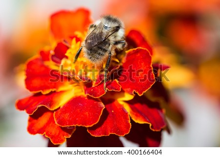 Bumblebee on a red beautiful flower - stock photo