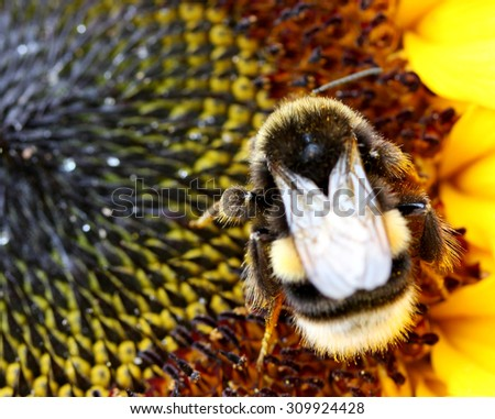 Bumblebee on a sunflower in closeup; Busy Bumblebee