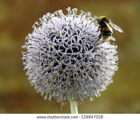Bumblebee on allium flower - stock photo