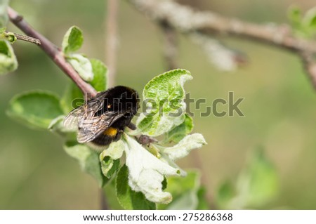 Bumblebee on an apple-tree branch close up