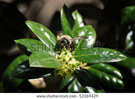 Bumblebee on Buford Holly blooms