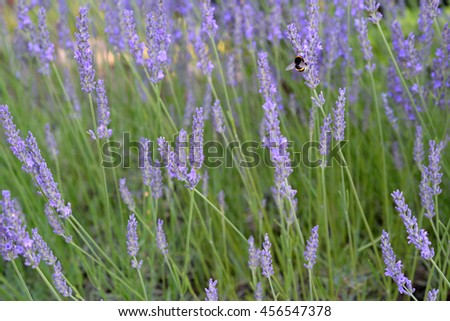 Bumblebee on Lavender. Shallow depth of field