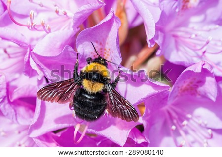 Bumblebee  on purple rhododendron flower - stock photo