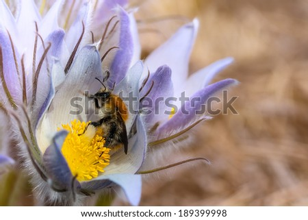 bumblebee on spring flower crocus - stock photo