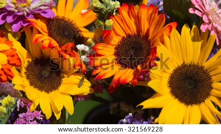 Bumblebee on Sunflowers with Vivid Yellow and Orange Flower Petals in full sunlight - stock photo