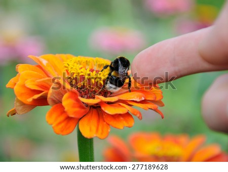 Bumblebee on the orange flower of zinnia and finger stoking the insect - stock photo