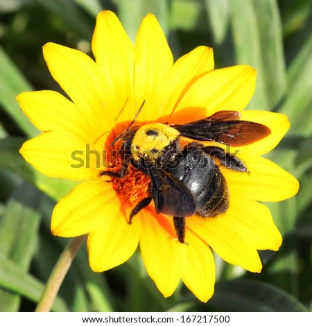 Bumblebee on the yellow flower. Close up.  - stock photo