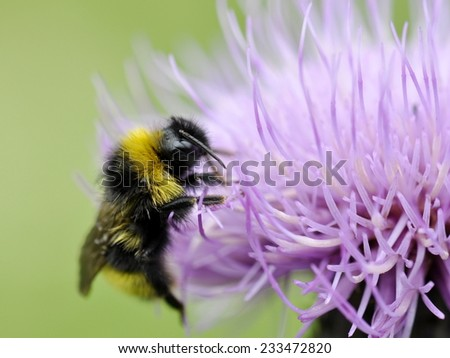 Bumblebee on violet thistle flower - stock photo