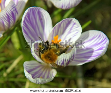 Bumblebee searches for nectar in a blue crocus blooming in spring - stock photo