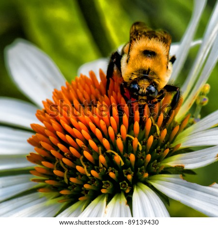 Bumblebee working on a flower and looking at me - stock photo