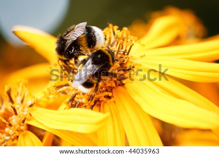 bumblebees on the yellow flower