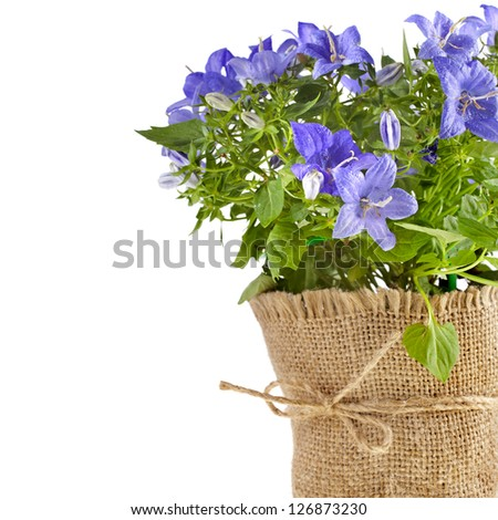 bunch bouquet of bellflowers  with copy space for text isolated on white background - stock photo