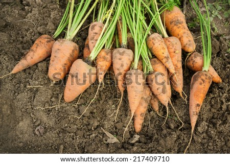 Bunch dug carrots lying on the arable land